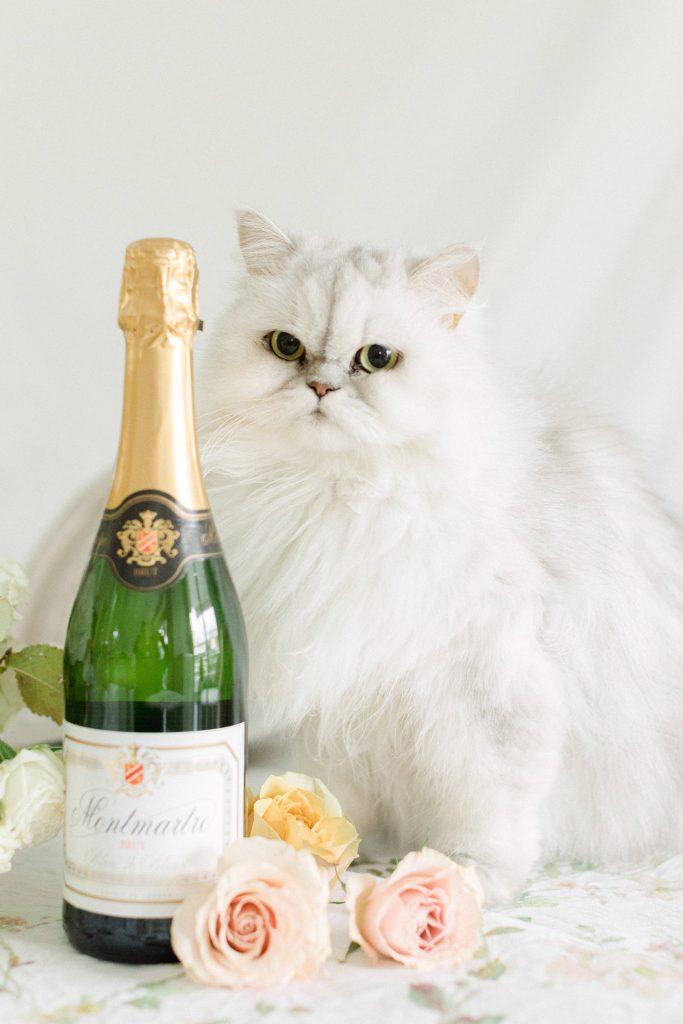 persian cat photographer vasilis kouroupis